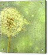 Closeup Of Dandelion With Seeds Acrylic Print