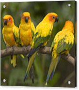 Closeup Of Four Captive Sun Parakeets Acrylic Print