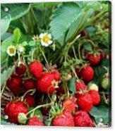Closeup Of Fresh Organic Strawberries Growing On The Vine Acrylic Print