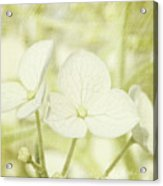 Closeup Of Hydrangea Flowers With Vintage Background Acrylic Print by Sandra Cunningham