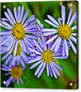 Closeup Of Leafy Bract Asters On Iron Creek Trail In Sawtooth National Wilderness Area-idaho  Acrylic Print