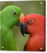 Closeup Of Male And Female Eclectus Acrylic Print