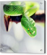 Closeup Of Poisonous Green Snake With Yellow Eyes - Vogels Pit Viper  Acrylic Print