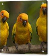 Closeup Of Three Captive Sun Parakeets Acrylic Print