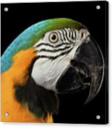 Closeup Portrait Of A Blue And Yellow Macaw Parrot Face Isolated On Black Background Acrylic Print