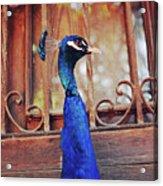 Closeup Portrait Of A Peacock Peafowl Acrylic Print
