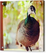 Closeup Portrait Of A Peafowl Acrylic Print