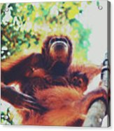 Closeup Portrait Of A Wild Sumatran Adult Female Orangutan Climbing Up The Tree And Holding A Baby Acrylic Print