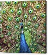 Closeup Portrait Of An Indian Peacock Displaying Its Plumage Acrylic Print