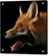 Closeup Portrait Of Red Fox In Profile Isolated On Black  Acrylic Print