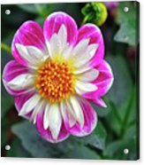 Closeup View Of A Dahlia That Was In The Cesky Krumlov Castle Gardens Acrylic Print