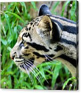 Clouded Leopard In The Grass Acrylic Print
