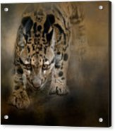 Clouded Leopard On The Hunt Acrylic Print