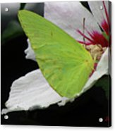 Cloudless Giant Sulphur Butterfly  Acrylic Print