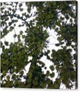 Cloudy Skies Through Maple Acrylic Print