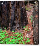 Clover And Redwood Acrylic Print