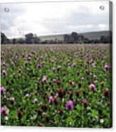 Clover Field Wiltshire England Acrylic Print