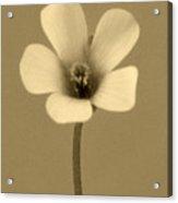 Clover Flower Acrylic Print