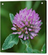 Clover In Dew Acrylic Print
