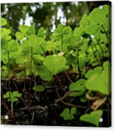 Clover In Montgomery Woods State Natural Reserve Acrylic Print