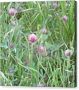 Clover In The Grass Acrylic Print