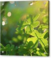 Clover Leaf In Garden, Macro Acrylic Print