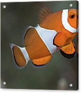 Clown Anemonefish (amphiprion Ocellaris) Acrylic Print by Steven Trainoff Ph.D.