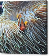 Clown Fish Acrylic Print