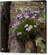 Clump Of Asters Acrylic Print