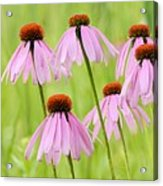 Cluster Of Cone Flowers Acrylic Print