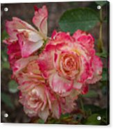 Cluster Of Roses Acrylic Print
