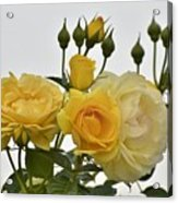Cluster Of Yellow Roses Acrylic Print