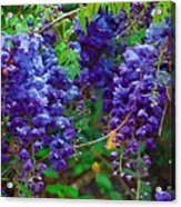 Clusters Of Wisteria Acrylic Print