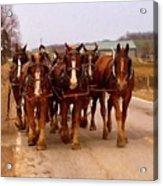 Clydesdale Amish Plow Team Acrylic Print