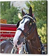 Clydesdale At Esp Acrylic Print