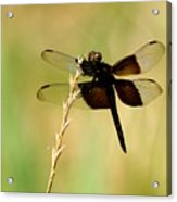 Coal Black Dragonfly Acrylic Print