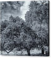 Coast Live Oak Monochrome Acrylic Print