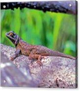 Coast Range Fence Lizard Acrylic Print