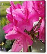Coast Rhododendran- Washington State Flower Acrylic Print