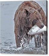 Coastal Brown Bear With Salmon  Acrylic Print