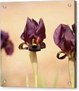 Coastal Iris  Acrylic Print