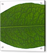 Coca Leaf, Erythroxylon Coca Acrylic Print