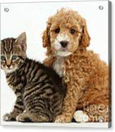 Cockapoo Puppy And Tabby Kitten Acrylic Print