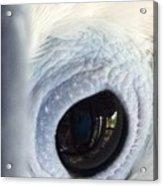 Cockatiel Eye Acrylic Print