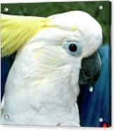 Cockatoo Bird Acrylic Print