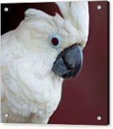 Cockatoo Portrait Acrylic Print