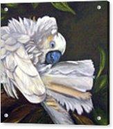 Cockatoo Preening Acrylic Print