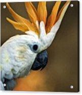 Cockatoo Show Off Acrylic Print
