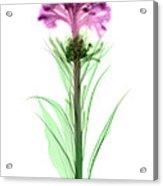 Cockscombs Flower, X-ray Acrylic Print
