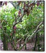 Cocoa Tree With Ripe Cocoa Pods Acrylic Print